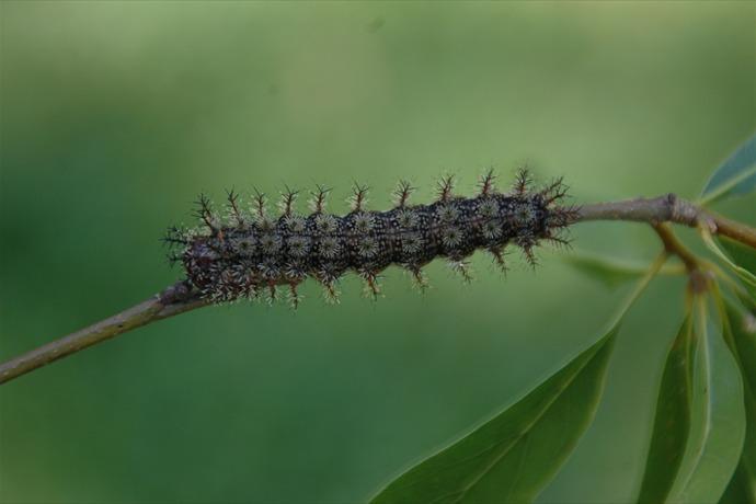Stinging buck moth caterpillar. _4944931447201744175