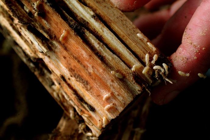 Termite_-7913834042340062281