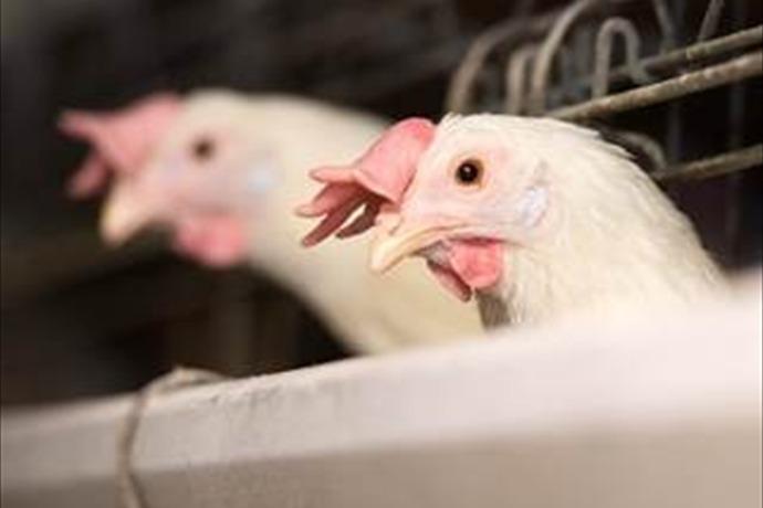 chicken_1561683707735852684