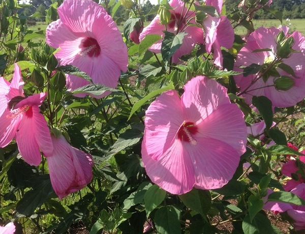 Pink Flare hibiscus _9204740588489231577