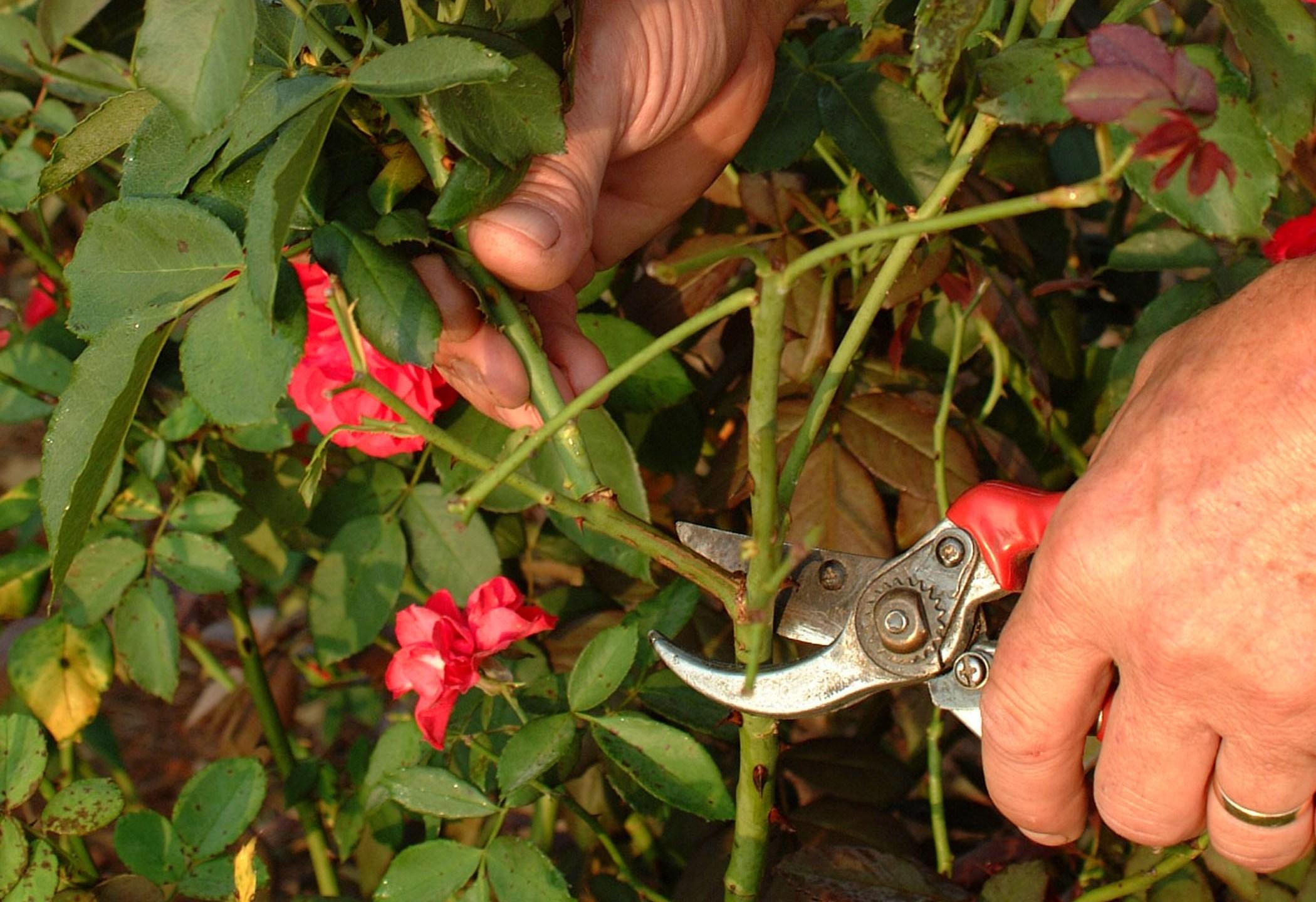 rose pruning_1485543361947.jpg