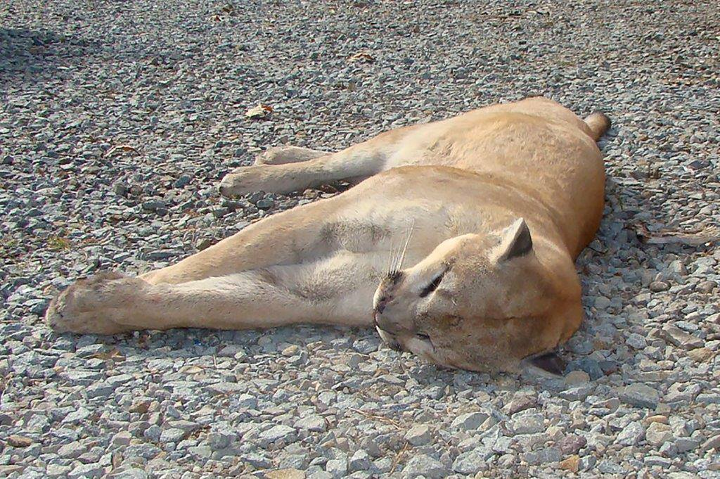 mountain lion_1510874362790.jpg