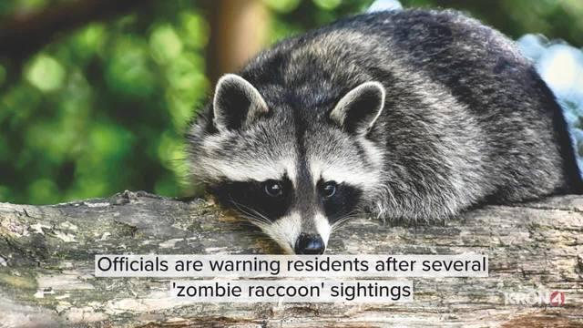 zombie raccoon sightings_1558082876521.jpg.jpg