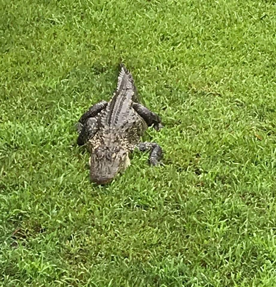 Gator found in Natchitoches_1559922875739.jpg.jpg