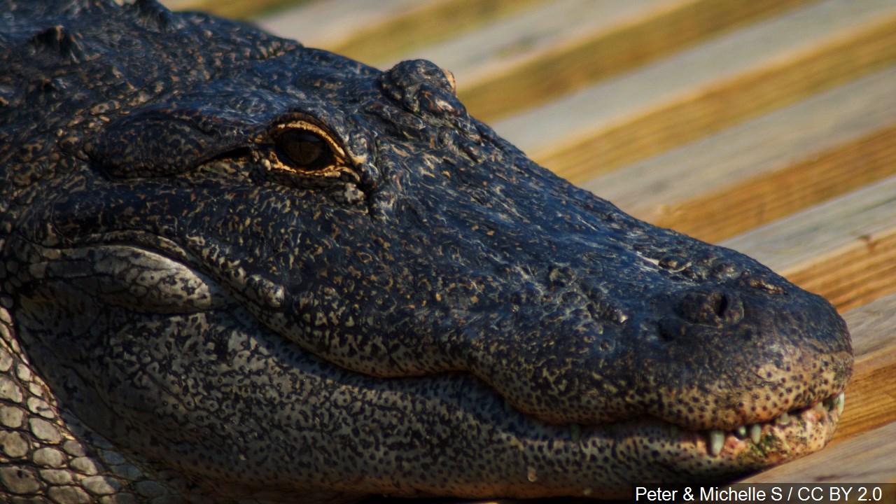 alligator_1560624913401.jpg